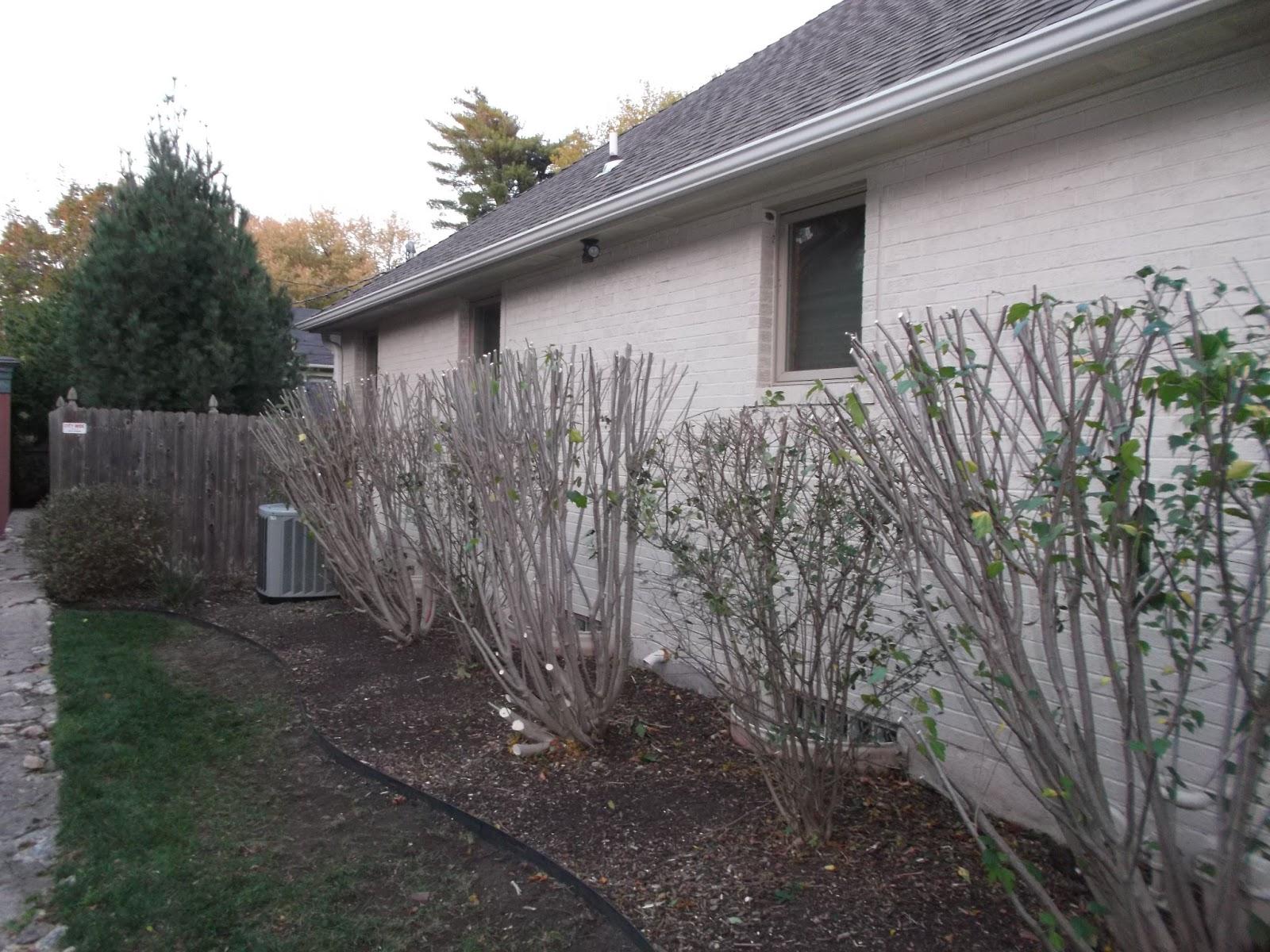Pruned rose of sharon Dream Home Enterprises LLC