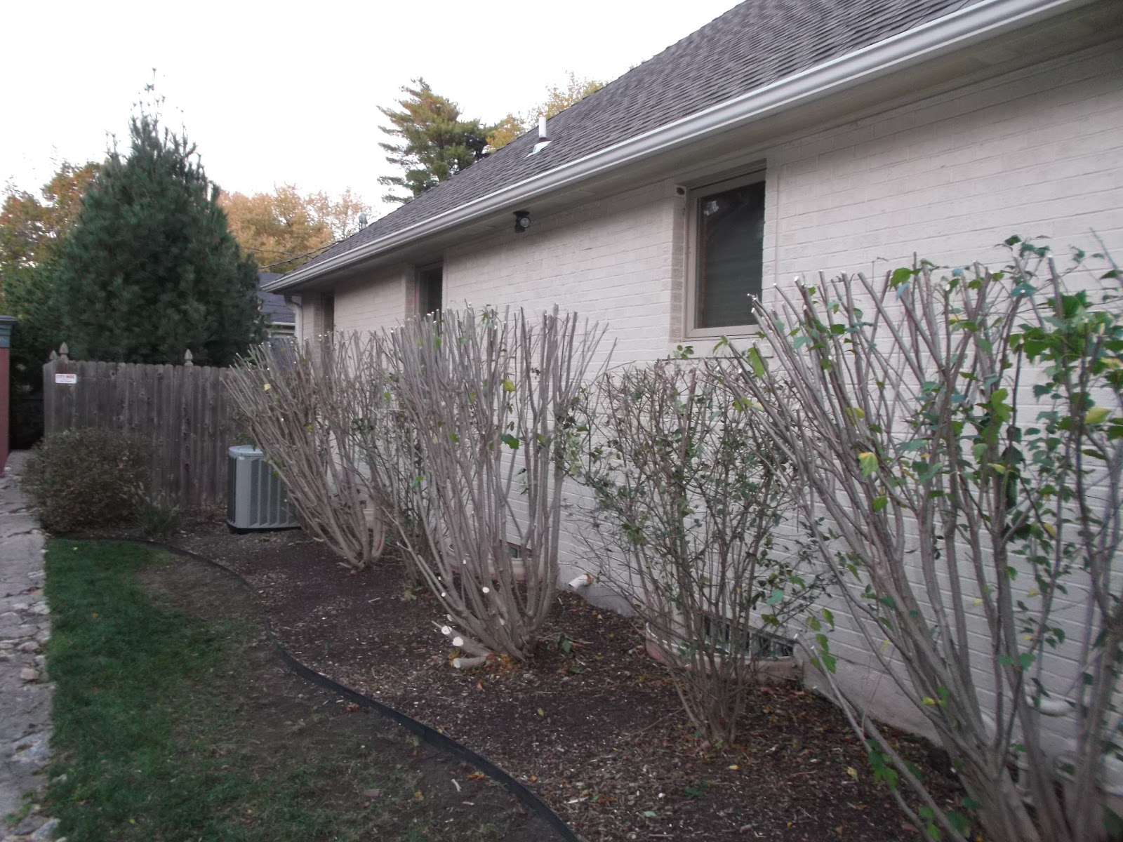 How to prune a rose bush - Here We Have Some Rose Of Sharon Bushes They Were Massive Before We Pruned Them Back You Can See The Dirt In Front Of The Edging No Grass Would Grow