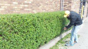 Trimming a hedge line in a restaurant's drive thru lane