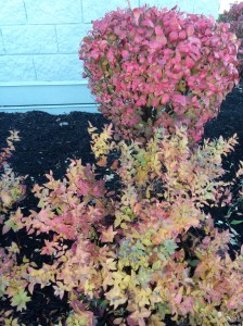 Don't forget to add seasonal color and interest in your landscape. Here is a burning bush and a spirea that brings excellent fall color