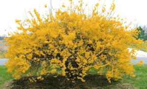 Full Shot Yellow Flowered Tree