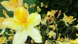 Beautiful yellow Stella D'Ora lillies
